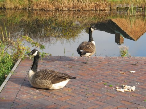 Canada geese at the Stan Ball Centre by Roger Jones.