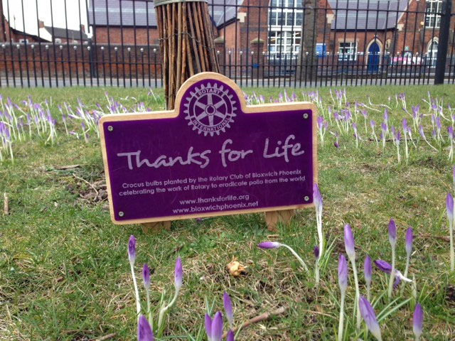 Bloxwich Rotary crocuses highlight Polio campaign